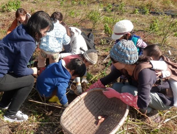 今日はお芋掘り、くるみっこ、岡山、美作、梶並、自主保育、保育、幼稚園、子育て、自然、遊び、プレーパーク